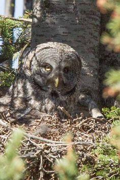 Great Grey Owl | Flickr - Photo Sharing!