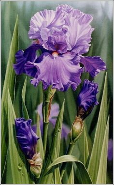 my misty morrning — Source:imgfave-hero Iris Flowers, Purple Flowers, Beautiful Flowers, Iris Painting, China Painting, Art Floral, Botanical Art, Botanical Illustration, Watercolor Flowers