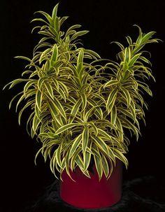 Pleomele - www.google.com.br/search?q=plantas+decorativas&espv=210&es_sm=122&tbm=isch&tbo=u&source=univ&sa=X&ei=u_uVUu3YCYHMsQSllYLwDQ&ved=0CEIQsAQ&biw=1680&bih=881