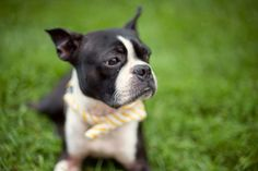 I need to get my boston one of these bow ties!