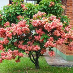 Mussaenda rosa