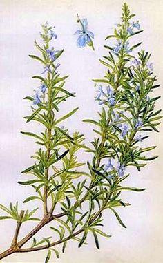 Rosemary - the faithful herb!