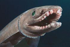 mamarine animal TOY Frilled Shark Chlamydoselachus anguineus Children gift safe