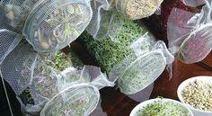 As sementes podem ser germinadas de três modos diferentes: no AR, na ÁGUA e na TERRA. O material necessário é simples: semente de boa qualidade; vidro de boca larga; tule ... Read More