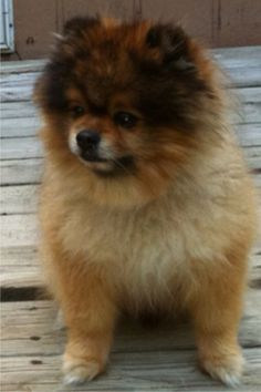 Our tri colored wolf sable teddy bear Pomeranian Dexter