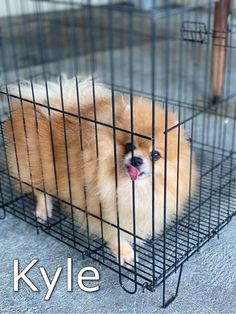 Carousell - Snap to List, Chat to Buy Sale On, Pomeranian, Dogs, Stuff To Buy, Animals, Animaux, Doggies, Pomeranians, Animal