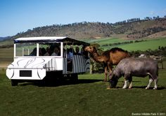 For holiday accommodation, experiences, events and attractions in Hobart, Launceston and across Tasmania Safari Bus, Wildlife Park, Holiday Accommodation, Wild Hearts, Tasmania, Australia Travel, Recreational Vehicles, Touring, Places Ive Been