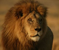 Lions facinate me