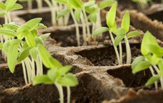 Here are a few of the most common dilemmas that organic gardeners face whengrowing seedlings indoors, along with their solutions.