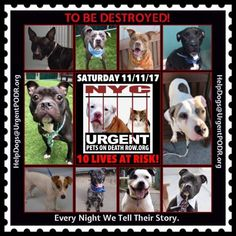 TO BE DESTROYED 11/11/17 - - Info   To rescue a Death Row Dog, Please read this:http://information.urgentpodr.org/adoption-info-and-list-of-rescues/  To view the full album, please click here:http://nycdogs.urgentpodr.org/tbd-dogs-page/ -  Click for info & Current Status: http://nycdogs.urgentpodr.org/to-be-destroyed-4915/