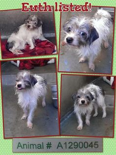 Euth listed - tiny scruffy girl - she's just scared! Please share for pledges and rescue.  DOG - ID#A1290045 I am described as a female, white and black Cairn Terrier mix. The shelter thinks I am about 1 year and 1 month old.. I am waiting for my owner to find me. OC ANIMAL CARE, 561 The City Drive South, Orange, CA 92868, 714-935-6848