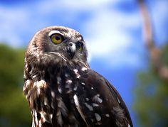Barking Owl by Erik K Veland, via Flickr