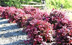 Beautiful Nandina Landscaping Images Nandina Landscaping Blush Nandina Is A Low Shrub With Red New Growth For Most Of The Small Shrubs, Large Plants, Landscaping Images, Front Yard Landscaping, Hillside Landscaping, Nandina Plant, Dwarf Shrubs, Garden Online, Foundation Planting
