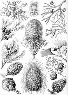 """Planche botanique Coniferae, Ernst Haeckel (1834–1919), """"Kunstformen der Natur"""" (1904), planche 94 : Araucaria brasiliana (cône femelle), Picea excelsa (écaille de cône femelle vue de l'intérieur), Abies bracteata (cône femelle), Chamaecyparis obtusa (branche avec cônes femelles), Thujopsis dolabrata (branche avec 12 cônes mâles et 3 cônes femelles), Juniperus communis (branche avec fruit), Libocedrus decurrens (branche avec cônes femelles), Phyllocladus rhomboidalis (branche avec cônes…"""
