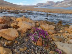 View from Ellesmere Island, Nunavut Territory, Canada ~ River Beauty flowers and Ekblaw Lake, Quttinirpaaq National Park. Ellesmere Island, Island Pictures, Vacation Days, Paris, Canada Travel, Places Around The World, Natural Wonders, Places To Travel, National Parks