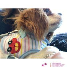 Pettorina Celeste a Righe per Cane Piccolo #ModaCani #CavalierKing - Pettorina ideale per un cane di taglia piccola: indubbiamente molto pratica, è una pettorina realizzata con tessuto bianco a righe di vari colori