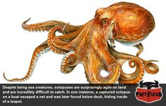 Octopuses Can Hide Pretty Much Anywhere - http://www.factfiend.com/octopuses-can-hide-pretty-much-anywhere/