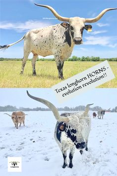 Texas longhorn cow photos from our Texas longhorn farm blog post - Texas longhorn horns - tips to look out for. #raisinglonghorns #raisingcattle #cowphoto #cowphoto #longhorncow #Texaslonghorns Longhorn Cow, Longhorn Cattle, Cattle Farming, Livestock, Cow Photos, Pictures, Cattle For Sale, Green Valley Ranch, Raising Cattle