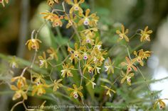 Florida Butterfly Orchid (Encyclia tampensis) - flowers with heart-shaped blotch. Description from flnativeorchids.com. I searched for this on bing.com/images
