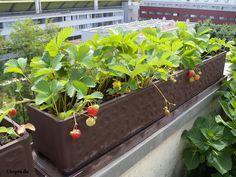 Gemuse Auf Dem Balkon Anbauen Sorten Geeignet
