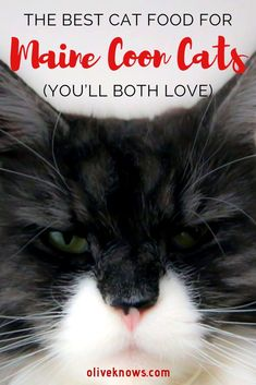 Which is the best cat food for maine coon cats? Read our thorough guide on finding the right cat food, including Royal Canin, Instinct Original and more! Healthy Cat Food, Best Cat Food, Pet Insurance Reviews, Cat Insurance, Puppy Care, Pet Care, Sick Cat Symptoms, Large Cat Breeds, Turkish Angora Cat