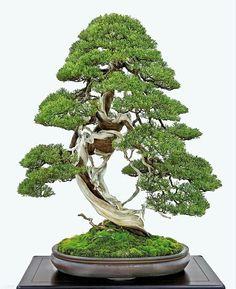 85th Kokufu-ten Bonsai Exhibition  Sargent's Juniper (Juniperus Chinensis var. Sargentii / 深山柏槇)⠀ (Ph. Credit: William N. Valavanis)