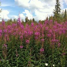 Fireweed - Alaska