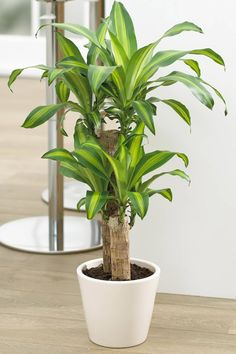The Houseplant That Survives Any Conditions - The Corn Plant, or 'Dracaena', is the top indoor plant, perfect for keeping in the home or office because they are impossible to kill. House Plants Decor, Plant Decor, Garden Plants, Best Indoor Plants, Indoor Trees, Interior Plants, Home Interior, Corn Plant Care, Plantas Indoor