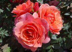 Matchless Mother - New Varieties - Roses - Heirloom Roses Coral Orange, Orange Flowers, Orange Brown, Amazing Flowers, Beautiful Roses, Sweet White Wine, Heirloom Roses, Shrub Roses, Old Rose