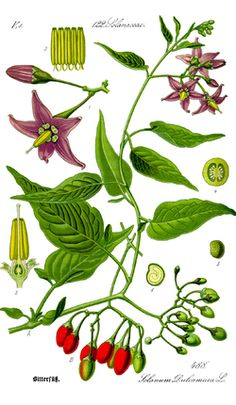 Solanaceae - Wikipedia, the free encyclopedia - To read up on..