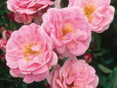 Beautiful pink clusters adorn 'Nathalie Nypels'.  This David Austin Rose has semi-double blooms with a sweet scent. It grows to 2 feet and is a great, fragrant choice for a patio garden.