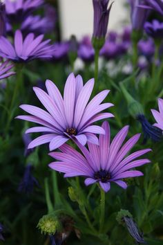 Beautiful Purple Flowers (Care & Growing Tips) Purple flowers are a great way to add interest to your yard or landscape. See some of our favorite purple garden flowers! Amazing Flowers, Purple Flowers, Beautiful Flowers, Daisy Flowers, Purple Plants, Gerbera Daisies, Faux Flowers, Colorful Flowers, Dame Nature