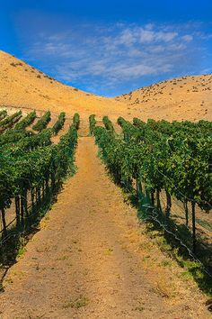 Vineyard   by http://fineartamerica.com/profiles/robert-bales.ht