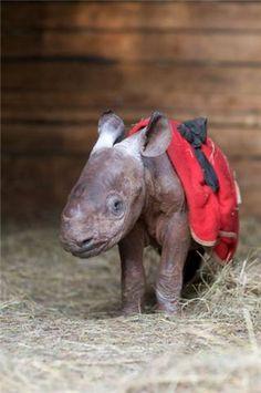 Irresistible! A beautiful baby rhino. U.S. Friends of The David Sheldrick Wildlife Trust 's Primary Photo