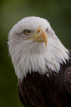 North American Bald Eagle - such a majestic creature!