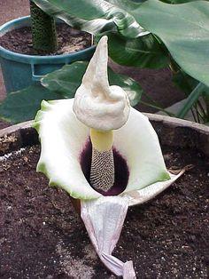 Amorphophallus-Paeoniifolius.jpg (480×640)