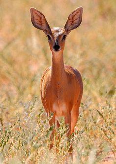 Steenbok Fem