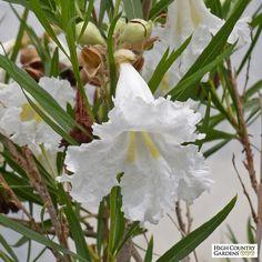 White chilopsis linearis Hope, White Desert Willow