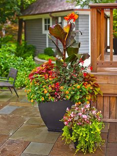 tropical canna ringed with fuchsia, coleus, and lantana. Bring in pots of annuals for bursts of color, or mix your annuals and perennials together like this smaller container of begonias paired with trailing creeping Jenny