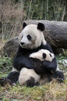 8 Панда бамбуковый медведь (36 фото)
