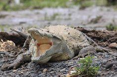 crocodile safari tour american croc   - Costa Rica