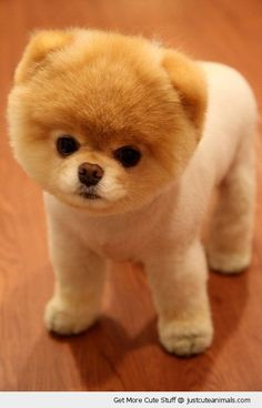 boo the cutest dog ever what do you think?