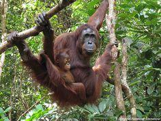 Tanjung Puting National Park, Borneo, Indonesia #nature