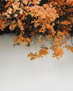 orange flowers over white wall