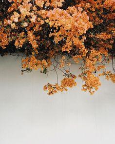 orange flowers over white wall
