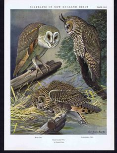 Owls Barn Long Eared Short Eared 1932 Fuertes NEW England Birds | eBay