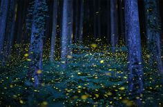 Fireflies In Japan. (Glad they're somewhere. Mosquitoe spraying has killed most of them here. :'(  Sigh..)