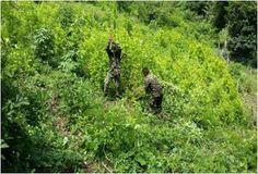 Erradicada una hectárea de coca en Codazzi - Hoy es Noticia - Rosita Estéreo