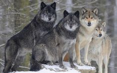 Mackenzie valley wolf (Canis lupus occidentalis) by Rarepic Big Wolf, Wolf Love, Wolf Photos, Wolf Pictures, Nature Pictures, Wolf Wallpaper, Animal Wallpaper, Winter Wallpaper, Beautiful Wolves