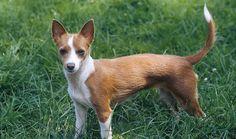 Portuguese Podengo photo   Portuguese Podengo Dog Breed Information